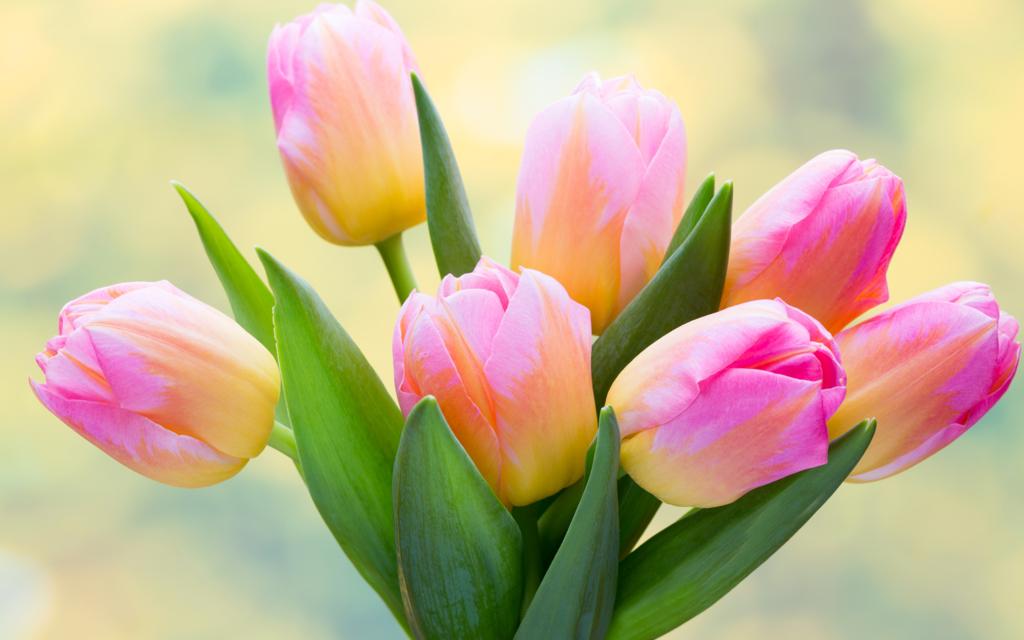 Картинки цветы тюльпаны красивые